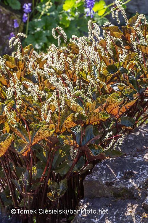 Chloranthus fortunei