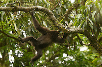 An Eastern Hoolock Gibbon (Hoolock leuconedys) swinging through the trees.