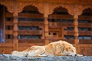 A dog sleeps in front of a Himalayan temple in Hatu, in Narkanda region of Himachal Pradesh, India