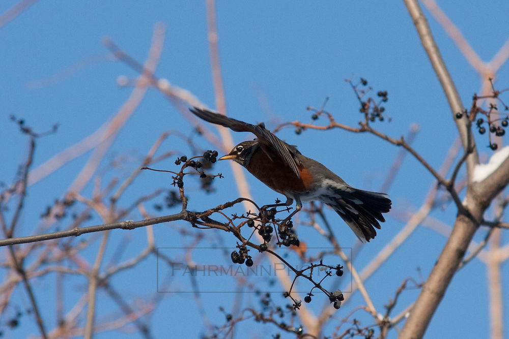 An American Robin lands near a patch of berries to eat