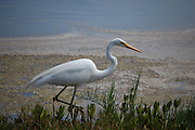 This is a Great White Heron pictured at the shoreline in J.N. Ding Darling Wildlife Refuge, in Sanibel, Florida