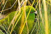 Antipodes Island Parakeet Pictures - Photos