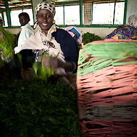 After the Nyeri County Citizen's Network, women tea farm workers arrived at the Gathambara Tea Collection & Buying Centre with baskets of damp tea leaves, that are poured on wooden tables and aerated by hand.  Tea farm work is very labor intensive, and most of the tea picking, carrying and sorting is done by women in Kenya.