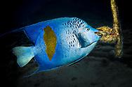 Yellowbar angelfish-Poisson-ange à croissant (Pomacanthus maculosus), Red Sea, Egypt.