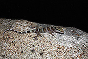 ringtail gecko, black mountain, cooktown, north queensland