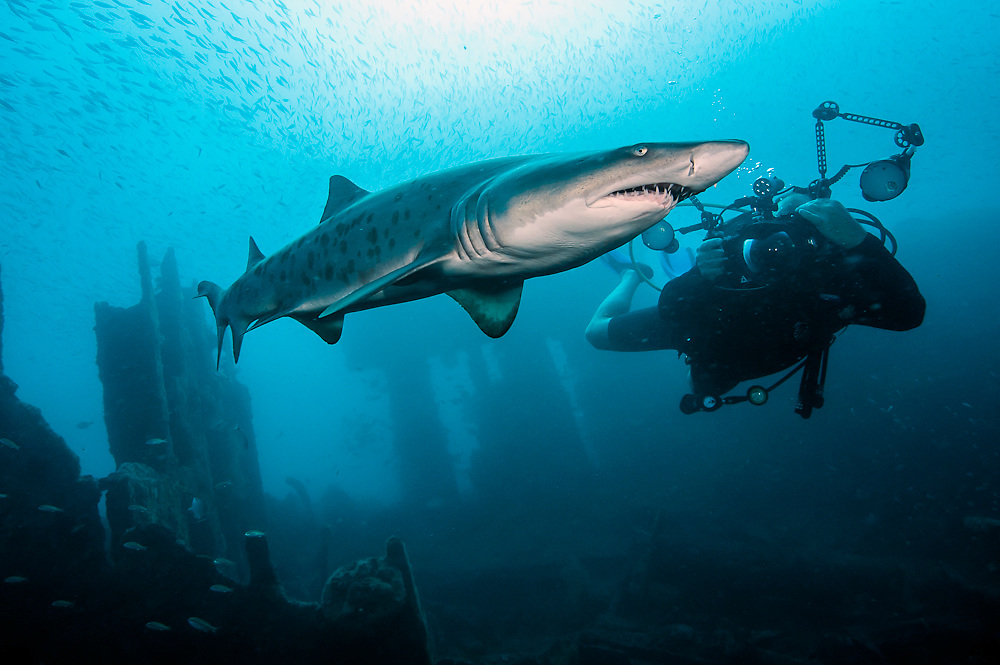 A scuba diver swims near a a Sand Tiger Shark, Carcharias taurus, on the Carib Sea shipwreck offshore Morehead City, North Carolina, United States.