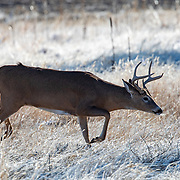 Whitetails II