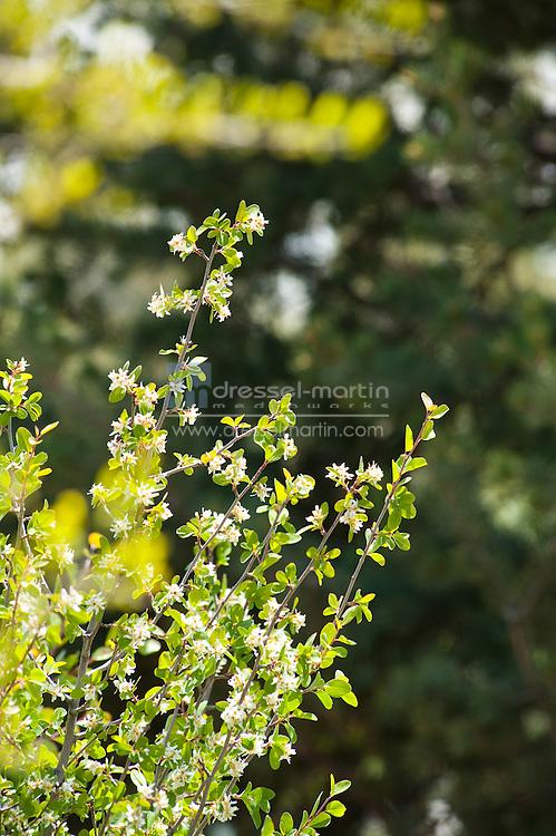 Denver Botanic Gardens, Amelanchier utahensis, Utah Serviceberry, Sacred Earth