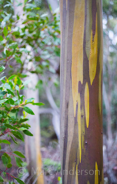 Pattern and colour on the bark of a Alpine Yellow Gum (Eucalyptus subcrenulata), Tasmania, Australia