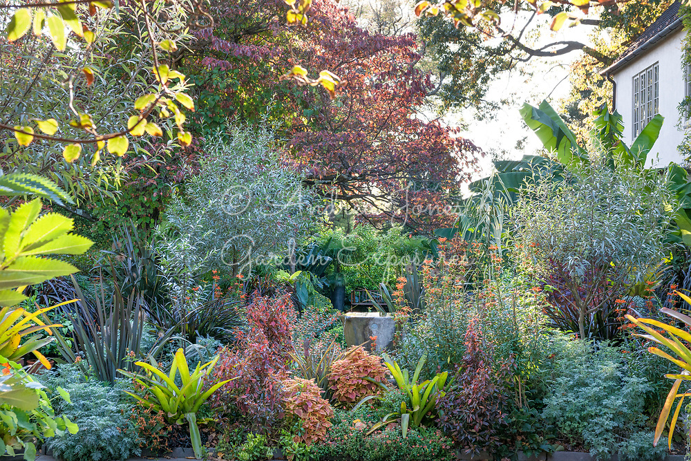 Teacup Garden in the autumn with borders of vivid colours and architectural plants surrounding a fountain water feature including Salix alba var. sericea (silver willow), Solenostemon (Coleus), Leonotis leonurus (lion's tail), Phormium, Bromeliads, Phygelius, Artemisia and Arundo donax var. versicolor (variegated giant reed). Large Cornus (dogwood) with red foliage above.<br /> <br /> <br /> Chanticleer Garden, PA, USA