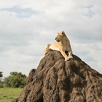 Female lion sitting on a termite mound to get a better view of potential prey in the Maasai Mara National Reserve, Kenya.