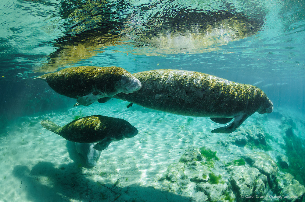 Florida manatee, Trichechus manatus latirostris, a subspecies of the West Indian manatee, endangered. Mother with two female twin calves swims into the warm blue freshwater. These rare twins are not documented but it is thought the calves are twins and not one calf with an adoptee. All three manatees have the same algae growing on their backs. Horizontal orientation with warming sun rays. Rare photograph. Three Sisters Springs, Crystal River National Wildlife Refuge, Kings Bay, Crystal River, Citrus County, Florida USA.