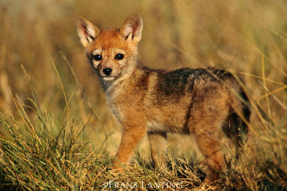 Black-backed jackal pup, Canis mesomelas, Masai Mara Reserve, Kenya