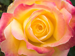 close up of a rose in bloom