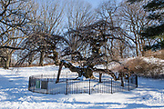 The Camperdown Elm, Ulmus glabra 'Camperdownii', planted in Prospect Park in 1872.