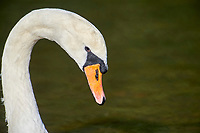 Mute Swan (Cygnus olor), Hollow Ponds, Leytonstone, London , Essex, England