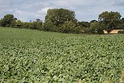 beat, crop, harvest, arable, farming, field, root, vegtable, ripe, fodder, sugar,