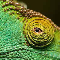 Madagascar, Close-up of captive Parson's Chameleon (Calumma parsonii ) at reserve near Andasibe-Mantadia National Park