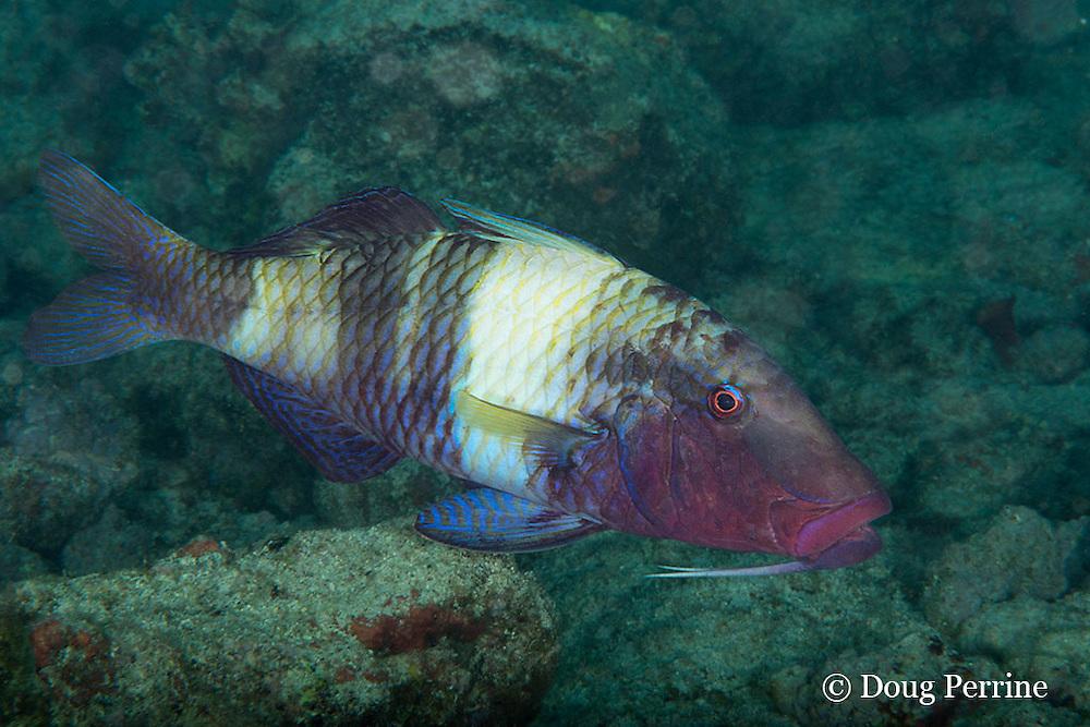 manybar goatfish, banded goatfish, five-barred goatfish, or moano, Parupeneus multifasciatus, Kahaluu Beach Park, Kona Coast, Hawaii Island ( the Big Island ) Hawaiian Islands ( Central Pacific Ocean )
