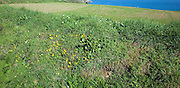 Hedgerow verge plants and field sloping to sea, Island of Sark, Channel Islands, Great Britain