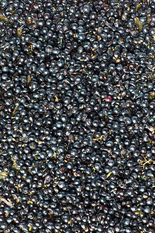 Merlot grapes harvested at vendange at Chateau Fontcaille Bellevue in Bordeaux wine region of France