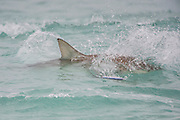 A Black tip Shark, Carcharhinus limbatus, leaps, chases a fishing lure offshore Palm Beach County, Florida, United States, during the species' migration in late winter / early spring.