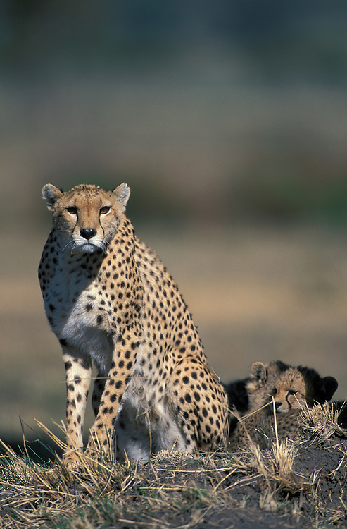 Kenya, Masai Mara Game Reserve, Adult Female Cheetah (Acinonyx jubatas) stares alertly from low mound on savanna with resting cubs