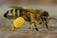 "DEU, Deutschland: Biene, Honigbiene (Apis mellifera), mit ""Pollenhöschen"", Bienen haben spezielle Einrichtungen an den Hinterbeinen um die nach hinten gestreiften und gesammelten Pollen zu transportieren, sie kleben dann in kleine Bällchen an den Hinterbeinen, Bienenstation an der Bayerischen Julius-Maximilians-Universität Würzburg 