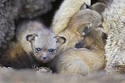 Bat-eared fox<br /> Otocyon megalotis<br /> 14 day old pup(s) in den<br /> Masai Mara Reserve, Kenya