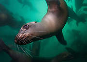 Sea lions can be quite inquisitive. While diving with a friend in Monterey, California, I would tap two rocks together, to get the attention the sea lions. Sometimes their groups would completely engulf us, and a few braver sea lions would come right up to us to figure out what we were.