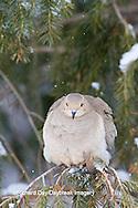 01081-01207 Mourning Dove (Zenaida macroura)  in spruce tree in winter, Marion Co., IL
