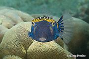 spotted boxfish, whitespotted boxfish, spotted trunkfish, moa, or pahu, Ostracion meleagris, male, Kahaluu Beach Park, Keauhou, Kona, Hawaii ( Central Pacific Ocean )