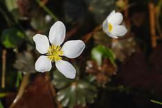 Waterranonkel, Ranunculus