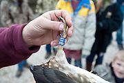 Wood Duck, Aix sponsa, tarsal band, Churchill County, Nevada