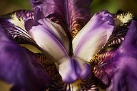 A close-up of an alluring spring iris blossom.