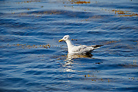 Herring Gull (Larus argentatus) swimming, Cherry Hill Beach, Nova Scotia, Canada