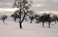 Two horses grazing in a snowy field in bleak wintertime.