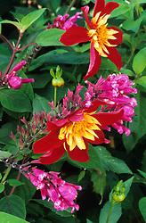 Salvia involucrata 'Bethellii' with Dahlia 'Chimborazo' at Great Dixter