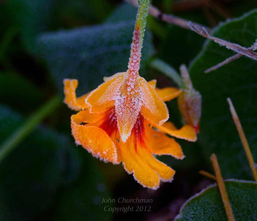 Nasturtium, frost, garden