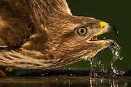 Common Eurasian buzzard, Buteo buteo, drinking water, Pusztaszer protected landscape, Kiskunsagi, Hungary