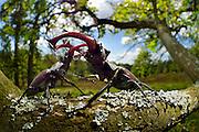 Sequence 4/6) - Rivals Stag beetle (Lucanus cervus) two males displaying aggressive behaviour on oak tree branch. Biosphere Reserve 'Niedersächsische Elbtalaue' (Lower Saxonian Elbe Valley), Germany | Serie (4/6) - Hirschkäfer-Männchen (Lucanus cervus) dulden sich nicht auf dem gleichen Eichenast und so kommt es immer wieder zu kleinen Kämpfen, bis ein Kafer vom Ast fällt oder flieht. Elbtalauen, Deutschland