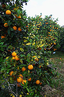 Orange tree (Citrus sinensis), Crete