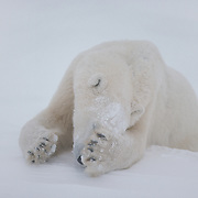 Subadult polar bear resting on the frozen shores of Hudson Bay, Canada.
