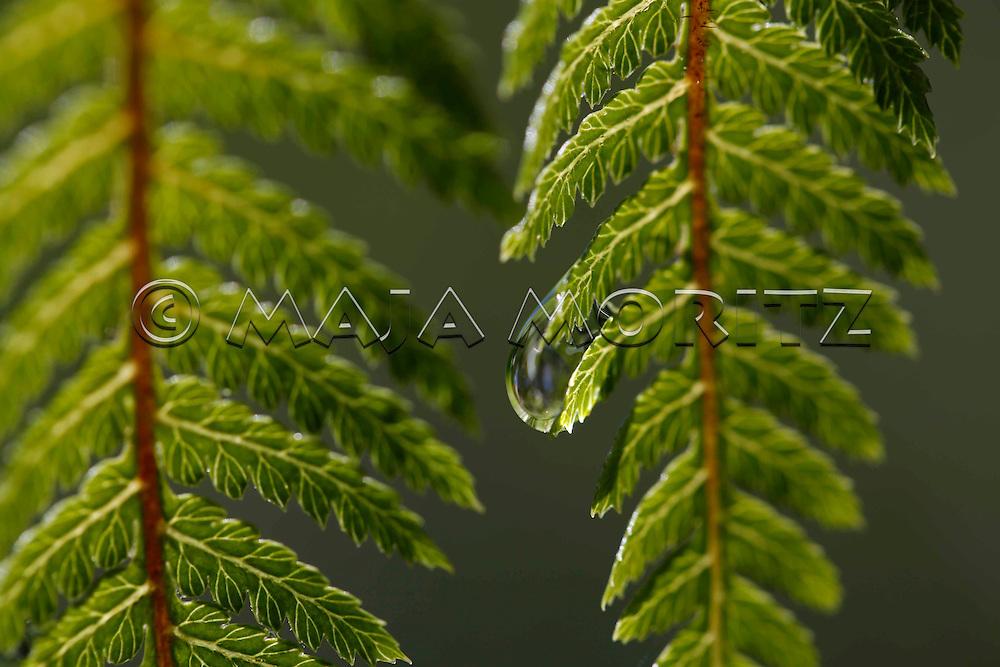 Drop and fern leafs