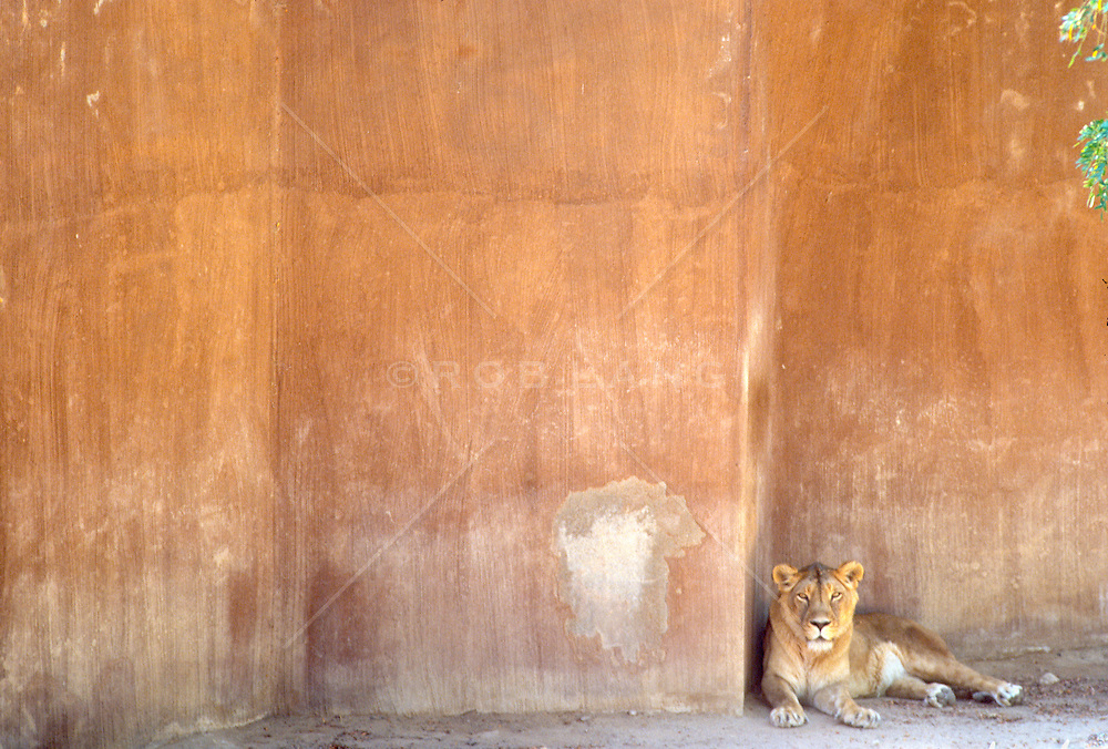 Female Lion in captivity.