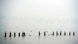 © Licensed to London News Pictures. 14/04/2015. Seaford, UK. Seabirds float on the calm waters in the sea mist. People in the early morning sea mist and sunshine in Seaford today 14th April 2015. Today is expected to be a very warm day across Britain. . . Photo credit : Stephen Simpson/LNP