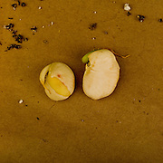 Vegetative reproduction, unhealthy seed growth