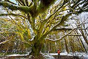 Local naturalists keep this ancient maple tree a secret because they fear poachers will strip it of its moss - Quinault River Basin/Olympic National Park - Washington State