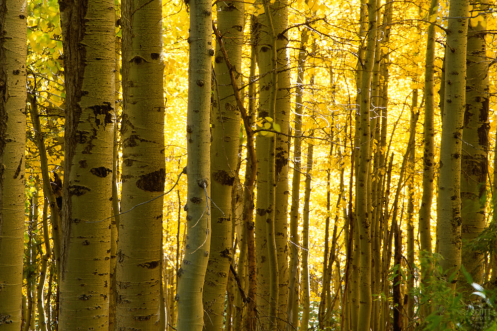 &quot;Autumn Aspens 2&quot;- Photographed in the Tahoe Donner area of Truckee, CA, near the Equestrian Center.<br /> Photographed: October 2003