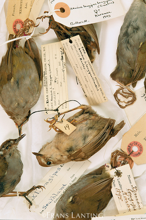 Extinct wrens, Xenicus spp., Canterbury Museum, New Zealand